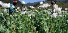 opium-production-myanmar