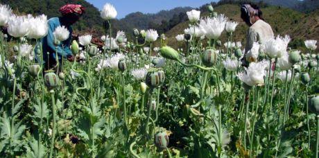 opium-production-myanmar